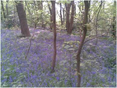 Bluebells in Whirlow Woods, Sheffield